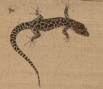 night lizard xantusia sm